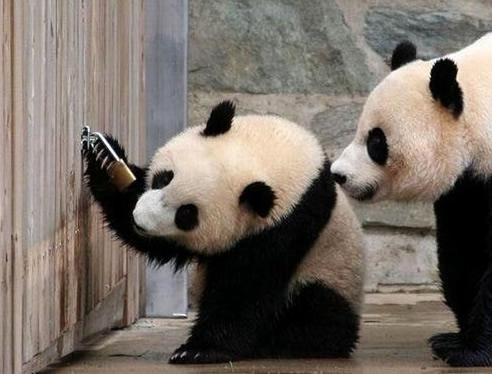 panda the master