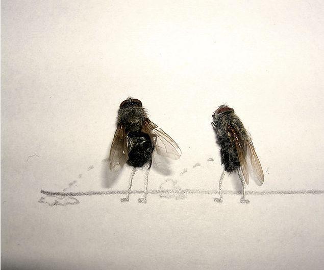 lalat kencing