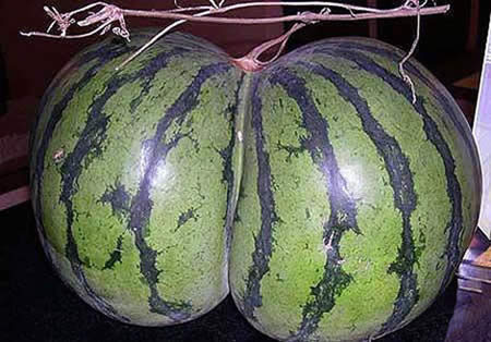 semangka montokkkkk